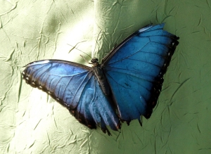 Blue morpho on green